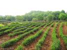 Чай Сі Ху Лун Цзін - виробництво (чайна мандрівка 2012р)