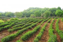 Чай Си Ху Лун Цзин - изготовление (чайная экспедиция 2012г)